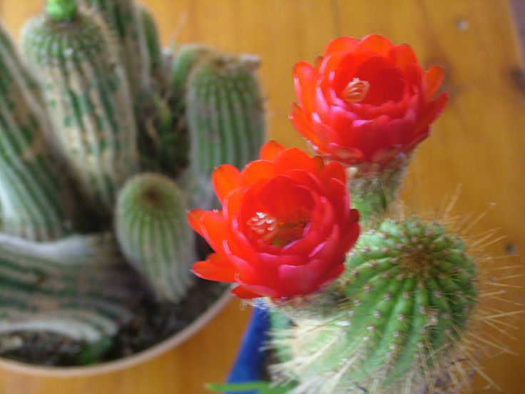This cactus is blooming today.