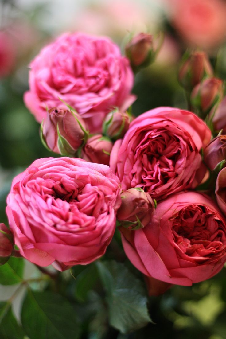 Roses In Garden: 57 Best Flowers: Peach, Pink & Blush Images On Pinterest