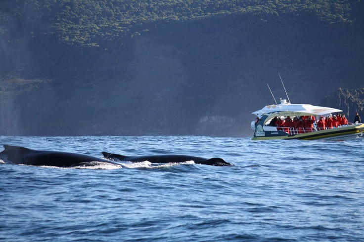 Getting up close and personal with Humpback Whales, Bruny Island