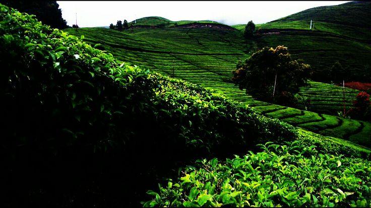 Kebun teh, alahan panjang, west sumatra