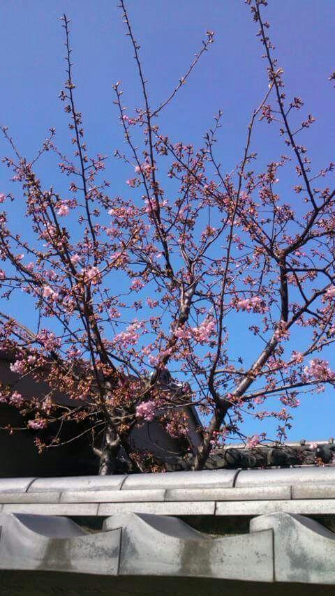 Premiers sakuras à Tokyo...