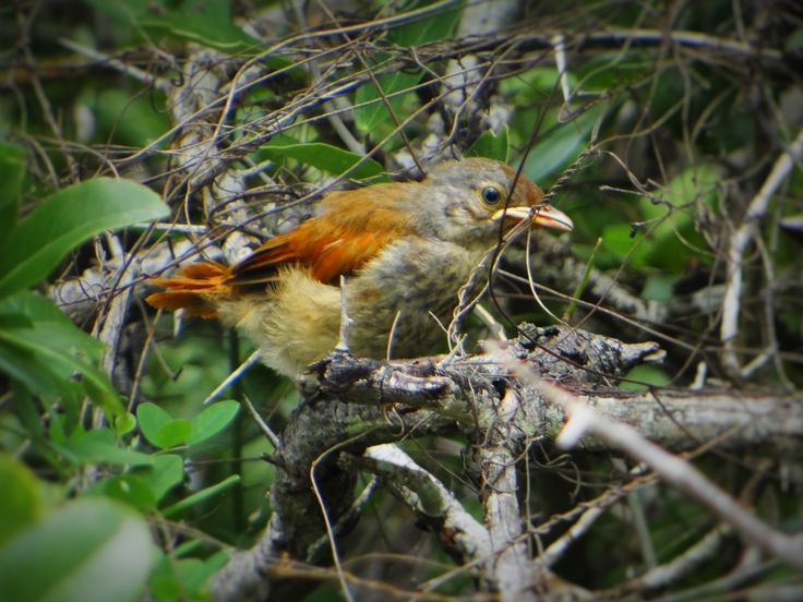 The collared palm thrush (Cichladusa arquata) is quite a noisy bird that can make it difficult for birding when he's around.