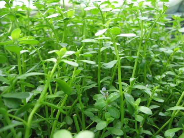 Bacopa monnieri  Moneywort tropical aquarium plants  moss