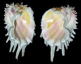 Florida Spiny Jewel Box