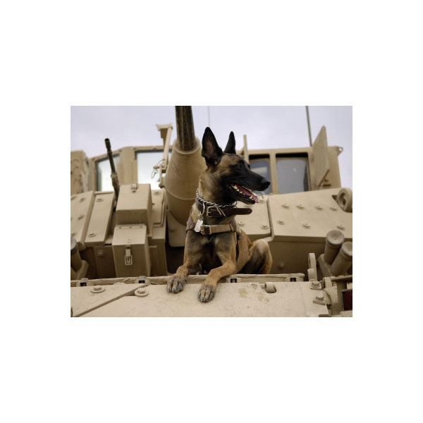 US Air Force Military Working Dog Sits on a US Army M2A3 Bradley... ($40) ❤ liked on Polyvore featuring home, home decor, wall art, photographic wall art, photography wall art, dog home decor, dog wall art and military home decor