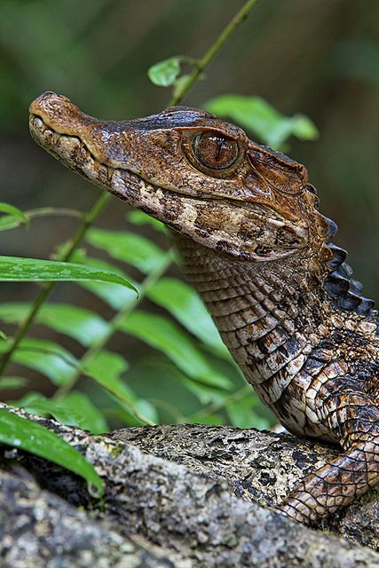 Dwarf Caiman - Paleosuchus palpebrosus Also named Cuvier's Smooth-fronted Caiman, Paleosuchus palpebrosus (Crocodylia - Alligatoridae) is a small, South American caiman, found near rivers and...