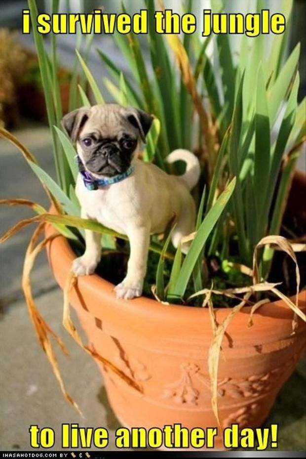 Funny Pug Dog Pictures – 35 Pics,  Go To www.likegossip.com to get more Gossip News!