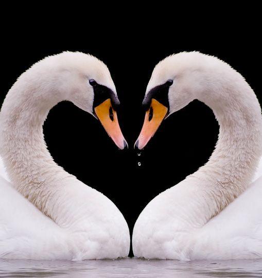 ♥ Swans - heart-shaped gap