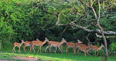 Rubanga Forest Lake Mburo National Park