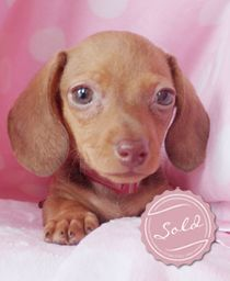 Red Miniature Dachshund Puppies For Sale in South Florida