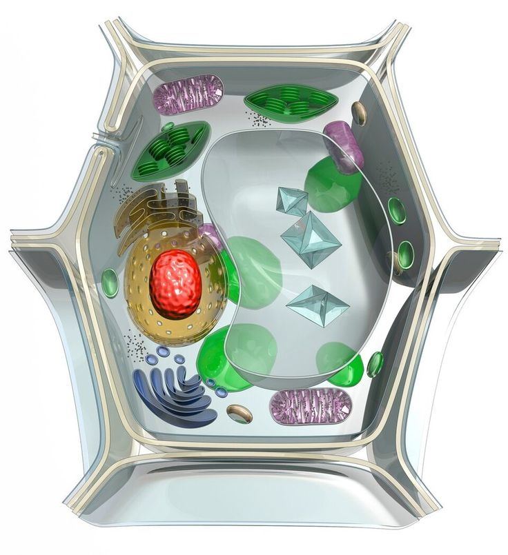 Plant cell diagram quizlet science diagrams pinterest plant cell diagram quizlet science diagrams pinterest plant cell structure plant cell and cell structure ccuart Image collections