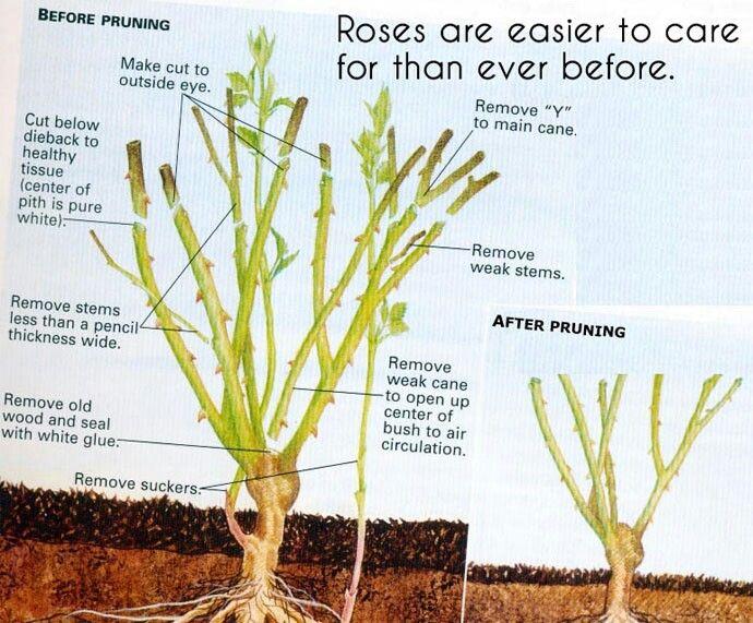 Poda de rosas - Rose pruning