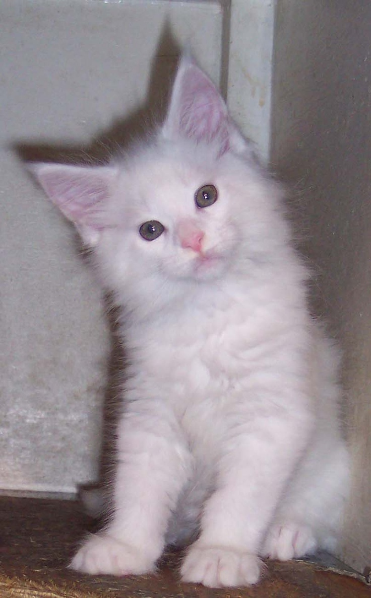 13 best White Maine Coon images on Pinterest