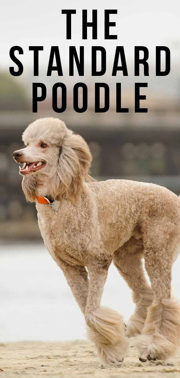 Standard Poodle Dog Breed Information Center Dog Breeds Poodle
