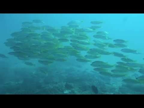Yellow snappers at Creche, Ponta do Ouro (southern Mozambique)