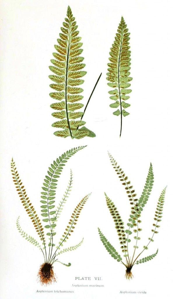 Botanical – Ferns | Vintage Printable at Swivelchair Media - Beta
