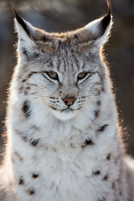 Spending most of its life alone, the lynx is solitary but deadly. For a relatively small cat (measuring up to three feet long), it can take on prey as big as deer.