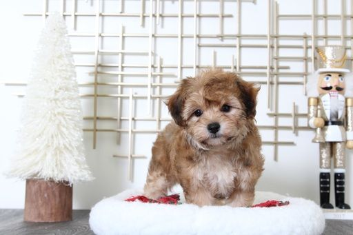 Morkie puppy for sale in BEL AIR, MD. ADN60480 on