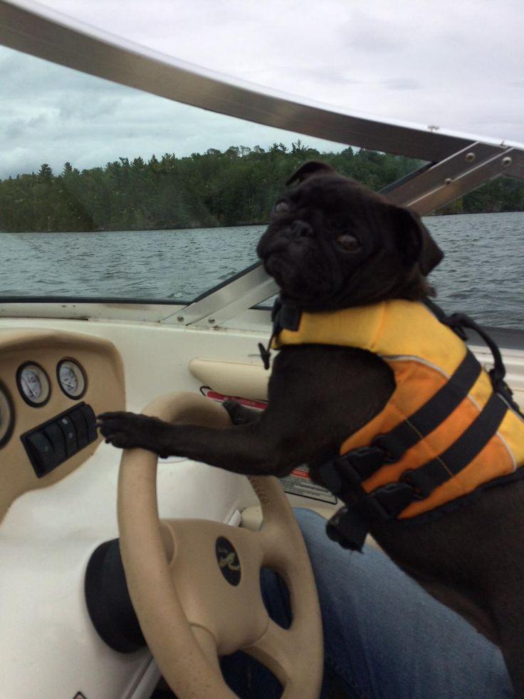 Jojo the captain would like to wish everyone a happy NationalDogDay!  #pugs