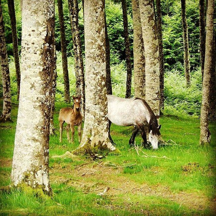Cache cache à urepel #randonnée #rando #instarando #instamoment #cute #horse #horselove #chevaux #cheval #poulain #caballo #zaldia #foret #PaysBasque #basque #euskalherria #basquecountry #photooftheday #paysage #mountains #rural_love #running photo @totegoyeneche