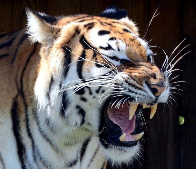 angry Tiger - Sumatra / Bengalischer Tiger - Sumatra- or B…   Flickr - Photo Sharing!