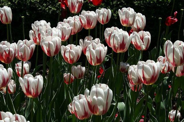 Il cameriere chiese: «Scusi, lei è Esther?»  «Sì», risposi, confusa.  «L'uomo che l'ha descritta mi ha semplicemente detto che dovevo cercare la donna più attraente del ristorante.» Poi, mostrando la mano che aveva nascosto dietro la schiena, mi porse un tulipano di un bianco purissimo, con l'estremità di ogni petalo tinta di rosso. Benché i tulipani fossero i miei fiori preferiti, non ne avevo mai visto uno come quello. Rimasi senza fiato. (Red and White Tulips by DavidJNoel, via Flickr)