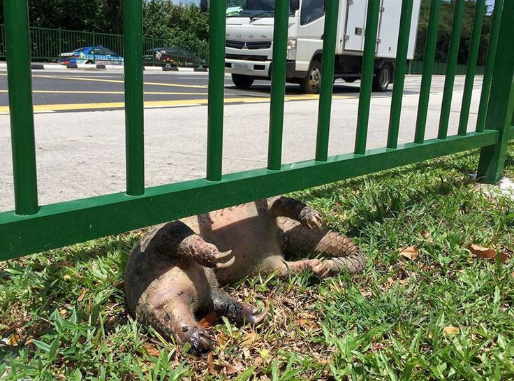 Critically endangered Sunda Pangolin found dead in Mandai after being hit by vehicle
