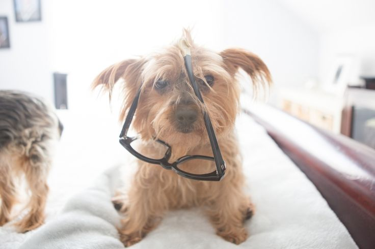 A CASE OF THE MONDAYS. Dogs in Glasses, Yorkie, Derek Cardigan.