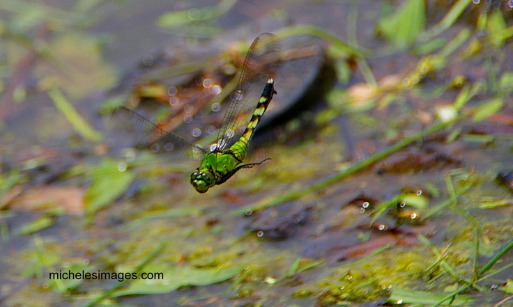 dragonfly dive: Dragonfly Diving, Dragonflies