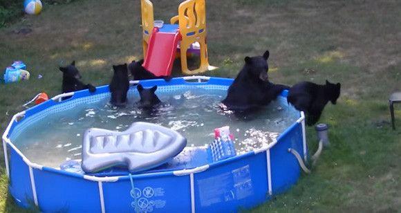 記事提供:カラパイア アメリカ、ニュージャージー州ロッキウェイタウンシップにあるお宅の庭には子供たちの為にプールが設置してあったわけだが、そこにやってきたのはなんとクマ様御一行。 ママクマに連れられた5匹のコグマたちが「さあ、あんたたち、ここで水遊びしちゃいましょ、あたしもシャパーン!」っとばかりに
