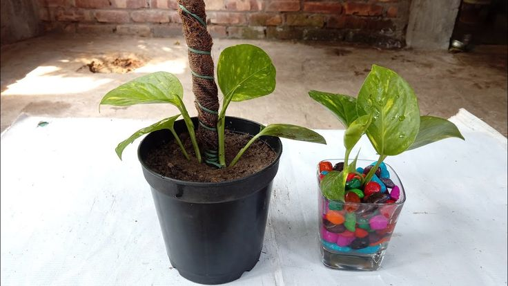Grow pothos or money plant in water and soil   Make stick for money plant – Gardening Video