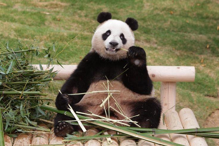 Mahlzeit: Der Panda Ai Bao genießt erkennbar seinen Bambus-Snack im...