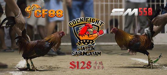 9 Fakta Menarik Yang Harus Anda Ketahui Tentang Ayam Sabung  #Ayam #AyamSabung #SabungAyam #AduAyam #SabungAyamPw #SabungAyamIndonesia #CookFight #TajenBali #SabungAyamFilipina  #CookStory #AduAyamOnline #S128SabungAyam #S1288 #S128Ayam #S128Sabung