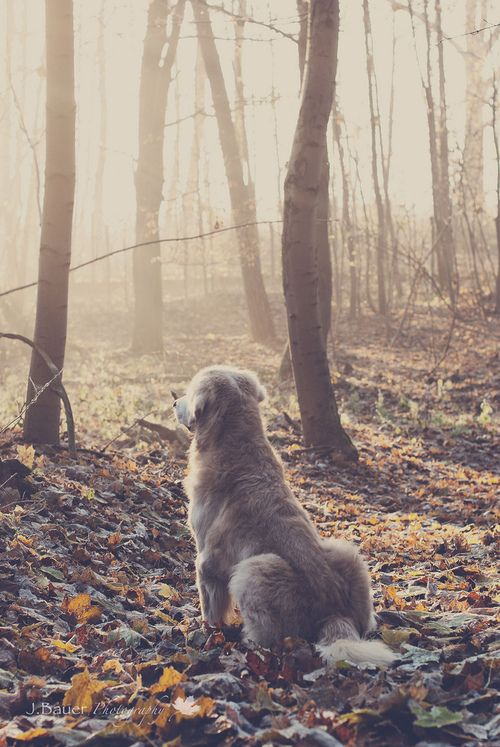 just sit and watch the rising sun: Beautiful Picture, Rise Sun, Animal Photography, Golden Watches, Dogs Wolves, Golden Mornings, Pretty Pictures, Rising Sun, Golden Retriever