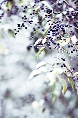 .: Winter Snow, Winter Berries, Photography Watercolor, Inspiration Pictures, Snow Berries, Nature Photography, Beauty, Blueberries, Honey