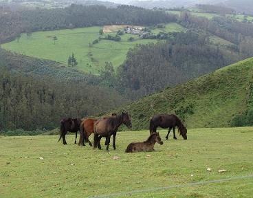 """Galician pony. A lot of them live free in the mountains and once a year, they are gathered for vet care as well as cutting their manes and tails in an event called """"A Rapa das Bestas"""". Img: Granxa Caxigueira-Razas Autóctonas"""