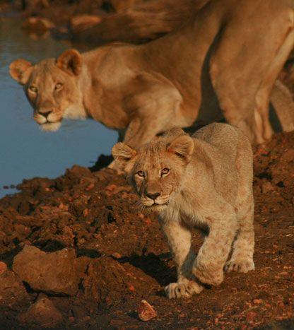 Lion at Madikwe