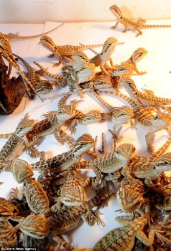 2 female bearded dragons produced 91 babies in just 1 summer! Be smart — THINK before breeding your pets!