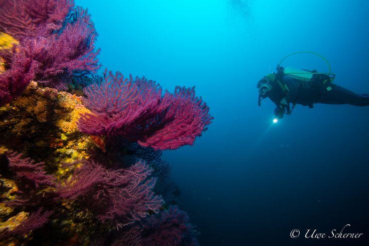 www.bioConsult-svi.de; Research Diver exploring Red Gorgones in 55m depth; Ibiza, Es Vedra, Spain