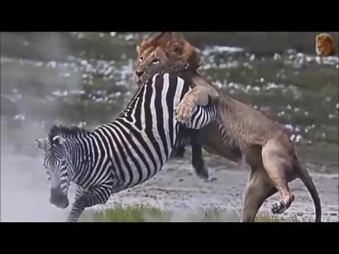 Cebra del ataque del león.animales ataque