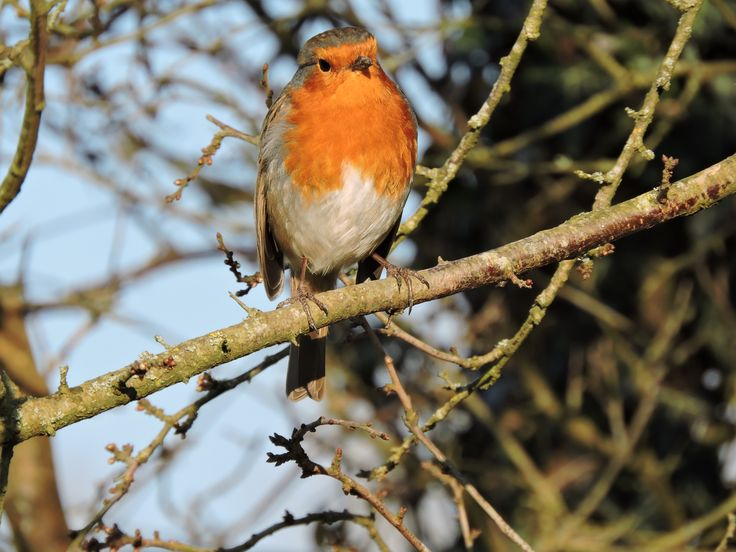 Robin, Wey and Arun Canal, Loxwood, West Sussex