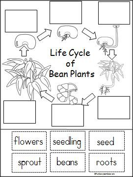 Life Cycle Of A Bean Plant Free Printable - Part of a larger Spring Unit