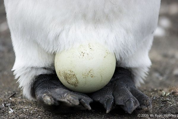 Google Image Result for http://mountaininterval.org/photos/images/2006-01-C/6667-gold-harbour-king-penguin-egg.jpg