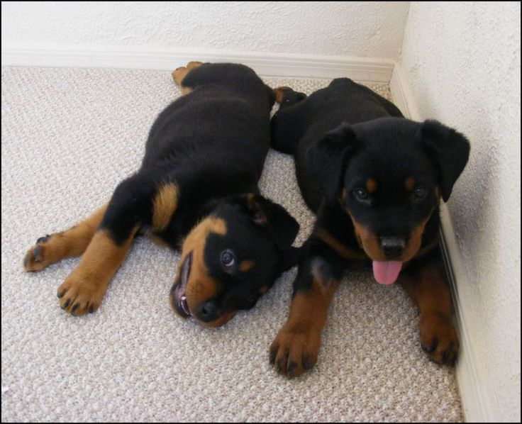 Puppies as infants and toddlers go through different life stages of their growth. These stages are characterized by both physiological and psychological changes which characterize each stage