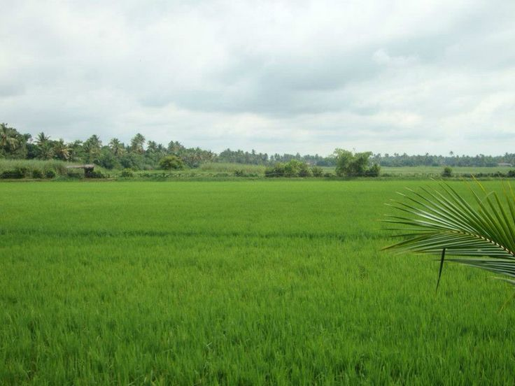 Lush green paddy fields in Kerala