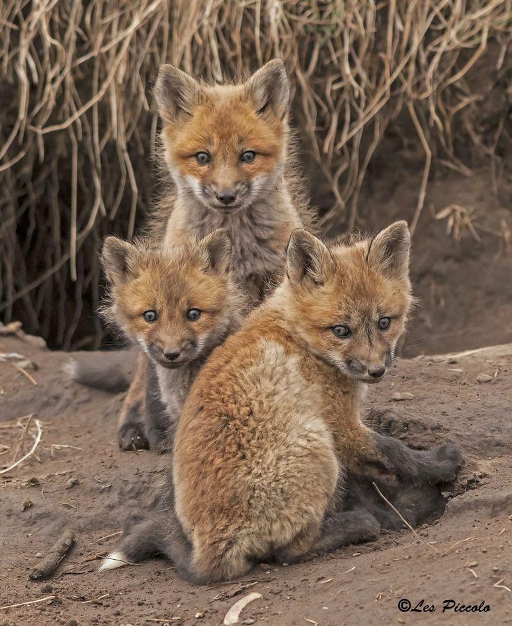 Fox Kits by Les Piccolo on 500px