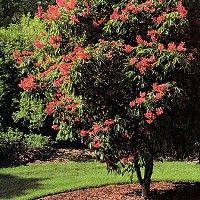 Dwarf Red Buckeye Tree