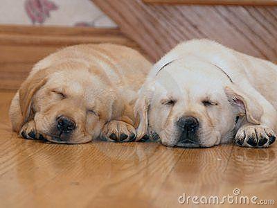 yellow lab puppy sleeping - photo #12
