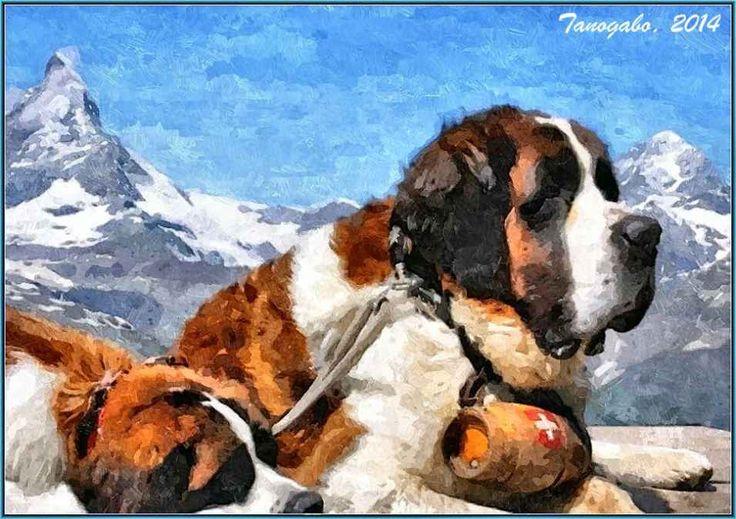 Omaggio al cane di San Bernardo I primi cani furono adottati dai monaci dell'Ospizio del Gran San Bernardo nel 1660, probabilmente donati da nobili famiglie del Vallese, inizialmente veniva utilizzato per la guardia e il trasporto  #affettuosità #canesanbernardo #forza