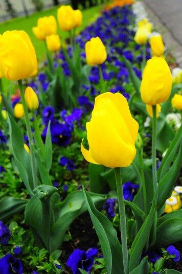 Tulips garden in Interlaken.